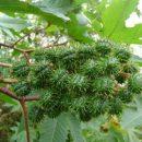 Importância da flora espontânea dos quintais – sétima parte