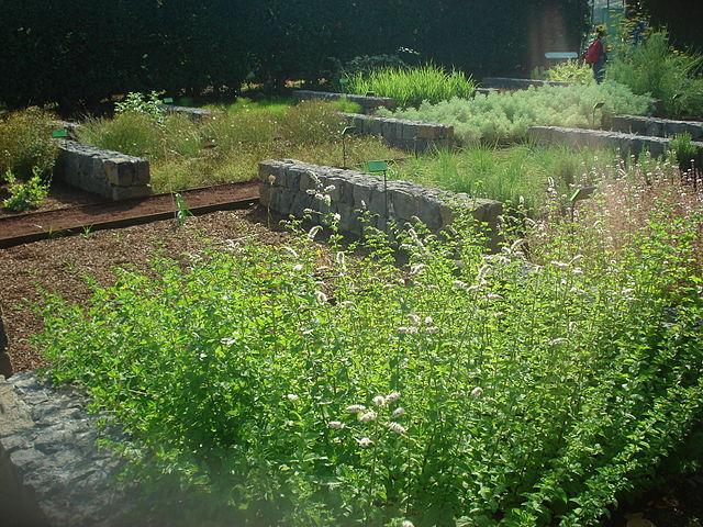 As ervas aromáticas e suas aplicações