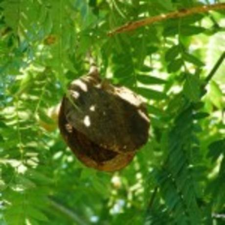 Jacaranda cuspidifolia