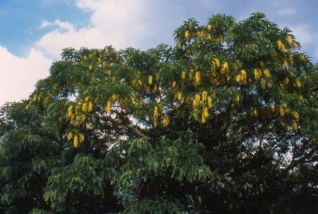 Cassia ferruginea