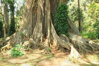 Ficus religiosa