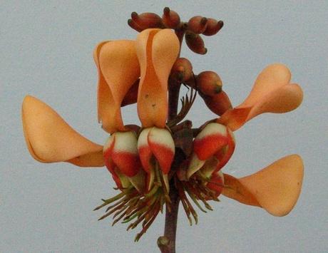 Erythrina fusca