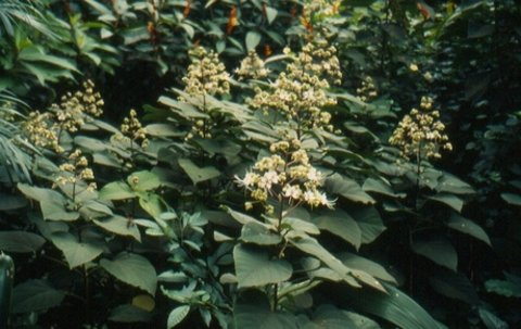 Clerodendron fragrans