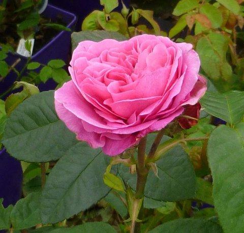 rosa rosa arbustiva roseira roseira grandiflora