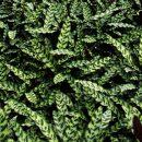 Calathea Lancifolia / Calathea Insignis