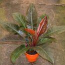Philodendrons e suas versatilidades