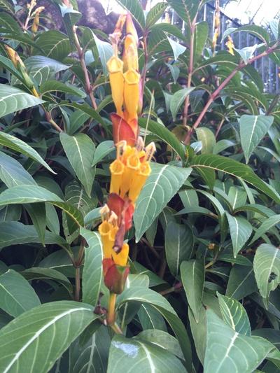 Sanchezia oblonga e suas brácteas avermelhadas e flores amarelas