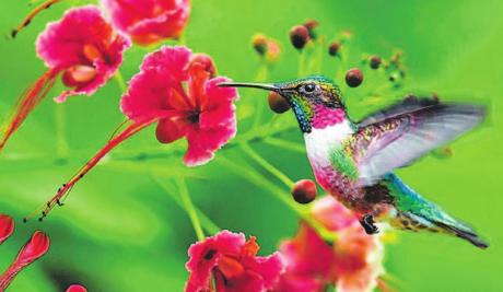 O tamanho diminuto, a beleza reluzente, velocidade e agilidade dos beija-flores atraem as pessoas
