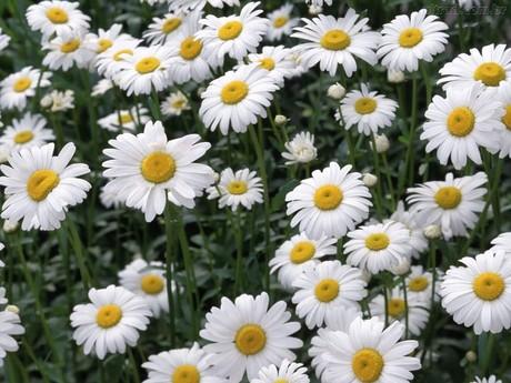 Margarida – Chrysanthemum leucanthemum