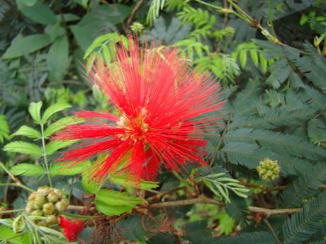 Calliandra tweedii- esponjinha-vermelha