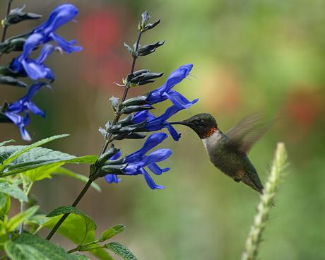 Salvia-guaranitica - salvia-azul