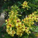 Família Fabaceae (Leguminosae)