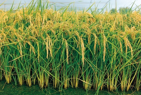 Arroz – Orysa sativa