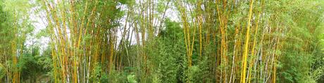 Bambusa - Bambusa vulgaris