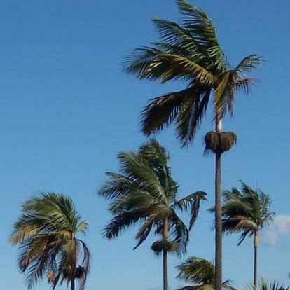 palmeira-princesa (Dictyosperma album)