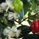 Família Myrtaceae
