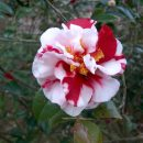 Camellia japônica