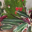Decoração de natal com plantas!