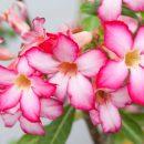 Aprenda como cuidar das suas rosas-do-deserto