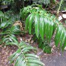 Rhaphidophora decursiva