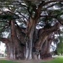 A árvore de Santa Maria Del Tule