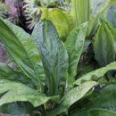 Cyclanthus bipartitus