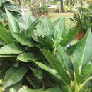 Philodendron martianum