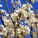 Handroanthus rose-albus
